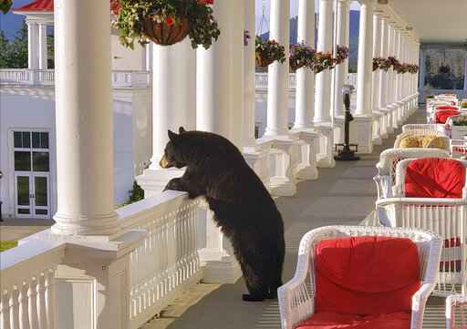 Photo shows black bear relaxing at New Hampshire hotel