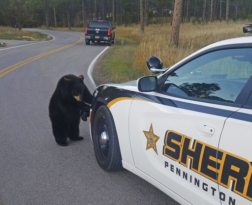 Curiosity does in bear cubs after escape from wildlife park
