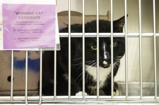 For ornery shelter cats, 2nd chance is a job chasing mice