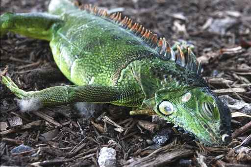 A stunned iguana lies in the grass at Cherry Creek Park in Oakland Park, Fla., Wednesday, Jan. 22, 2020. The National Weather Service Miami posted Tuesday on its official Twitter that residents shouldn't be surprised if they see iguanas falling from trees as lows drop into the 30s and 40s. The low temperatures stun the invasive reptiles, but the iguanas won't necessarily die. That means many will wake up as temperatures rise Wednesday. (Joe Cavaretta/South Florida Sun-Sentinel via AP)