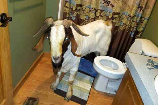 In this Friday, Oct. 4, 2019 photo, a goat stands in the bathroom of a home in Sullivan Township, Ohio. The goat named