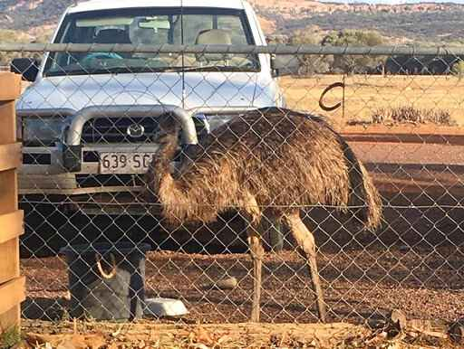 In this photo taken and released by Leanne Byrne, an emu named Carol, three years old and raised from an egg, walks around behind a fence, July 5, 2020, in Yaraka, in the Longreach Region, Queensland, Australia, population 13. An Australian Outback pub has banned two emus, Carol and another, for