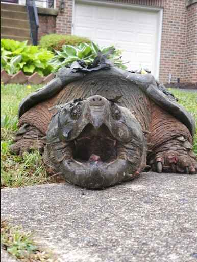 This 2020 photo provided by the Fairfax County Police Department shows a 65-pound (29-kilogram) alligator snapping turtle in Alexandria, Va. The turtle, dubbed Lord Fairfax, who was repeatedly crossing a residential road in the Alexandria area, according to Fairfax County Police, has found a new home at a Virginia zoo. (Fairfax County Police Department via AP)