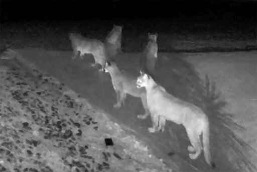 This Monday, Jan. 13, 2020 photo from video provided by Chris Bruetsch shows five California mountain lions seen together on home surveillance video at Breutsch's home in Pioneer, Calif. The rare gathering of the notoriously solitary big cats was recorded in the home surveillance video at the rural residence in the edge of the El Dorado National Forest east of Sacramento. A California Department of Fish and Wildlife spokesman called the images