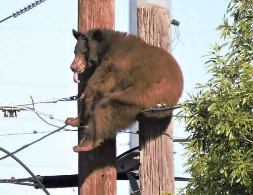 A bear is perched at the top of a utility pole Sunday, May 9, 2021, in Douglas, Ariz. Authorities say the bear eventually climbed down and scampered off, sending about two dozen onlookers scattering.(Bruce Whetten/Sierra Vista Herald via AP)