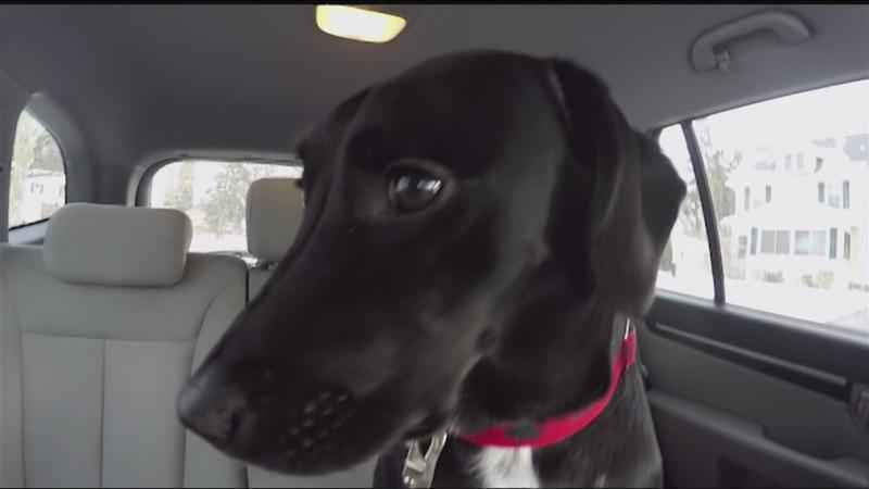 Good Question: Doggy distraction? Should there be a law against pets on drivers' laps?