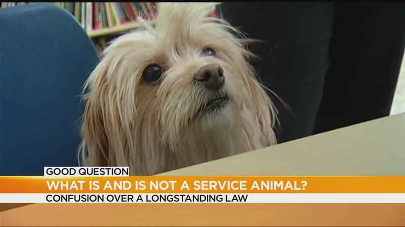 Good Question: Are people abusing service dog laws?