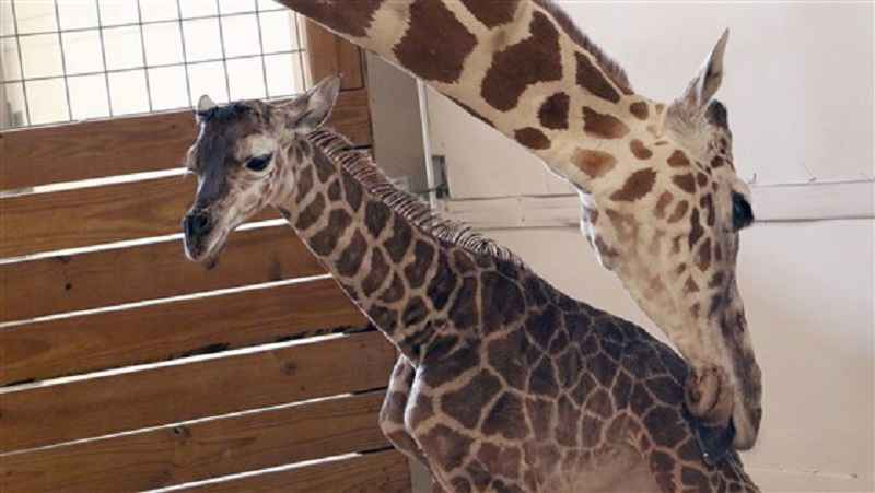 April the Giraffe is expecting her second calf