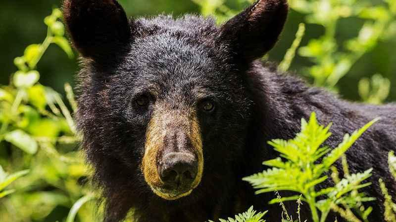 Early bear hunting season begins this weekend in parts of NY