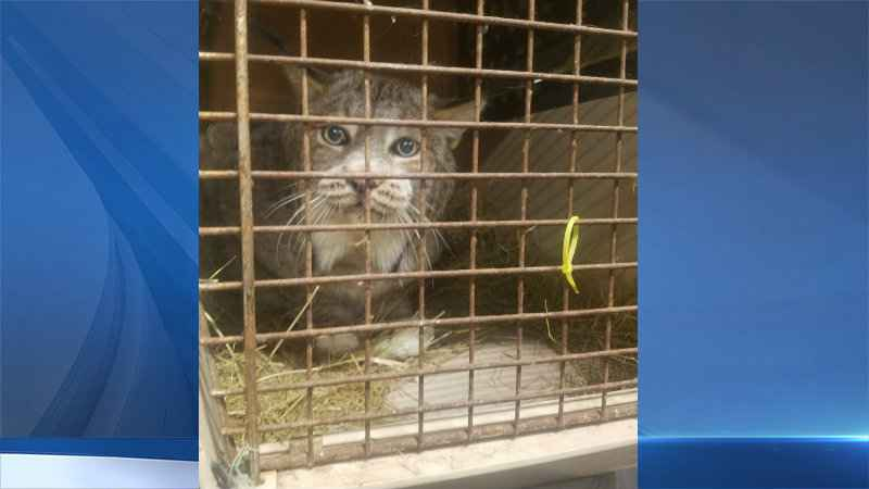 Trooper discovers Lynx in back of a pickup truck