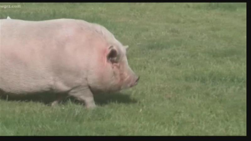NY family loses fight to keep 200-pound pet pig