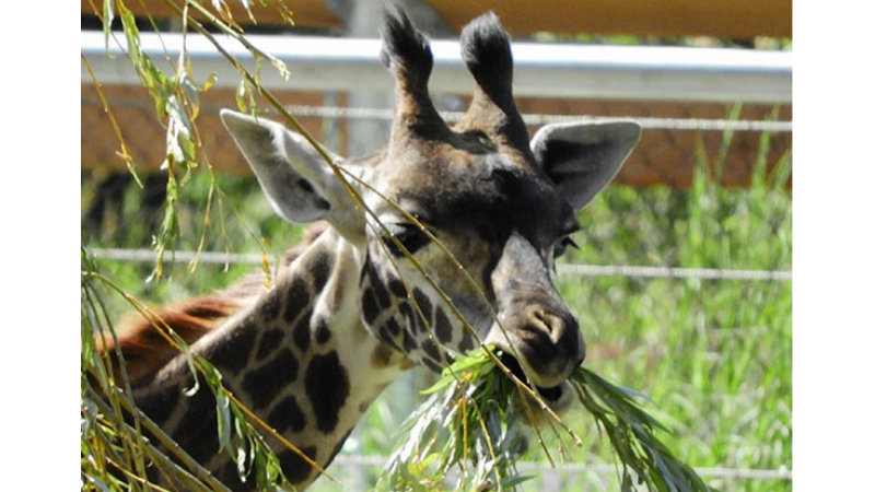 Want to feed a giraffe at Seneca Park Zoo? Here's your chance