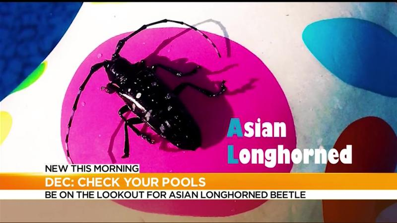 DEC urges pool owners to be on the lookout for invasive beetle