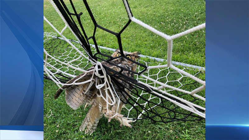 Owl trapped in soccer net rescued