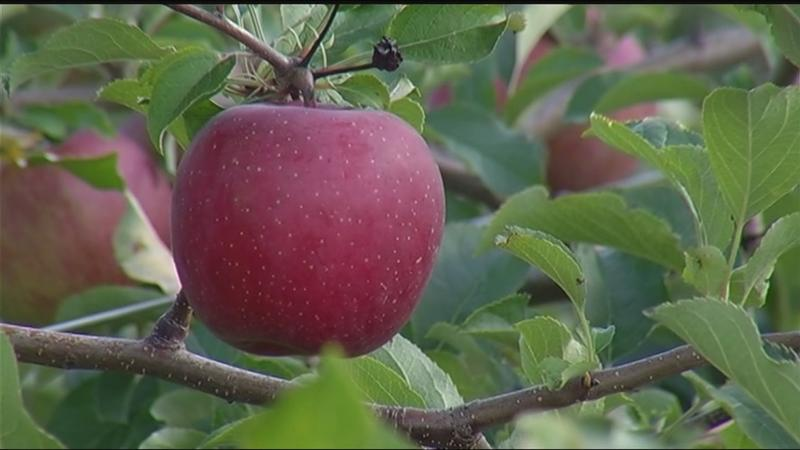 Apple farmers feeling the effects of a cold spring
