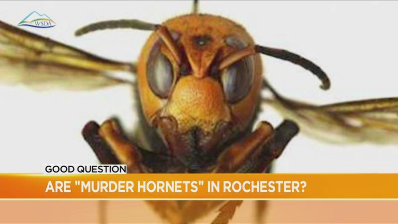Good Question: Are 'murder hornets' in local neighborhoods?