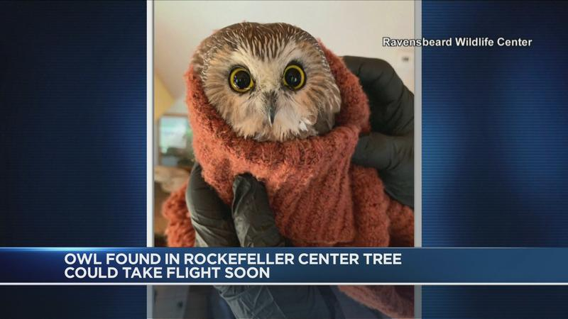 Owl found in Rockefeller Center Christmas tree to be released, as well as bobblehead