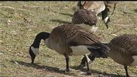 Good Question: Are they killing off geese in Webster?
