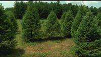 Unusually hot summer weather hurting Christmas tree farms