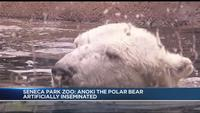 Could a polar bear cub be coming to the Seneca Park Zoo?