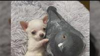 Lundy the chihuahua and Herman the pigeon.